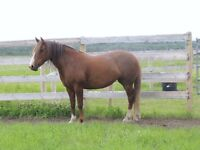Beautiful 6 year old green broke mare for sale