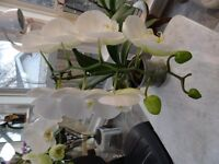 HOME GROWN ORCHID FOR SALE