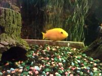 Electric yellow cichlid for sale