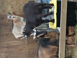 3 Sweet Pigmy Goats for Sale