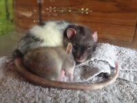 I petsit rodents