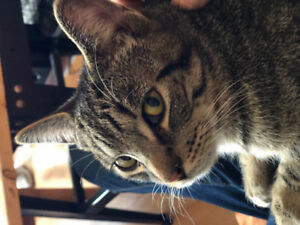 found male tabby, haddon and king area