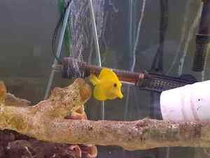 5-Month-Old Yellow Tang