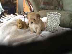 Adoreable Pom-Terrier puppies for sale