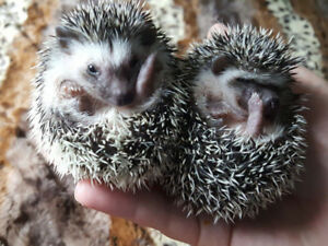 plusieur bebes herissons / hedgehogs a adopter