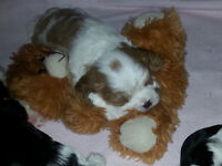 Cavalier King Charles Spaniel Pups for sale