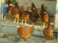 Rhode Island Red rooster...FREE