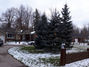 Christmas light install on 3 tall blue spruce trees