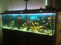 120 gallon african cichlids and FX5