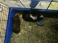 two lovely guinea pigs for sale price discusses。