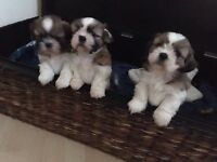 Shih tzu 3 boys 1 girl