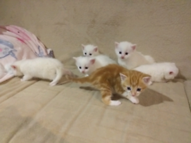 Kittens boys and girls ( all reserved)
