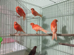 Red Canaries