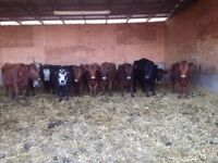 Nice mix younger bred cows for sale