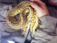 Lemonblast ball python with thank and accessories