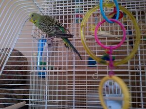A green young male budgie and a cage
