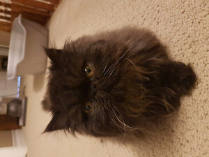SPAYED Black Female Persian Kitten