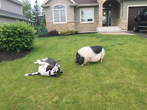 Pet sitter for a Great Dane and Pot Belly Pig