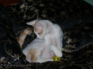 100% Authentic Pure Bred Devon Rex Kittens***