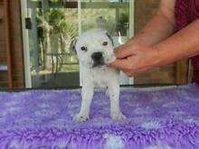 """Staffordshire Bull Terrier  """"English Staffy"""" Walloon Ipswich City Preview"""