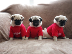 Only ONE LEFT ~Pug Puppies