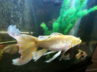 "Golden ""Big Mofo"" Of A Butterfly Koi Fish Needs New Crib!"