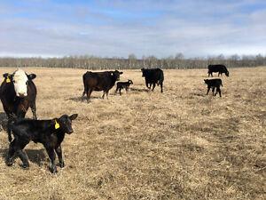 Black angus cow calf pairs