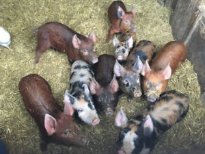 Feeder pigs for sale