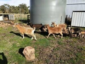 Goats for sale X8 (4 miniature goats, 4 regular goats)