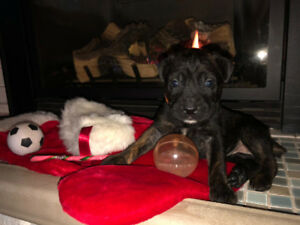 PURE CANE CORSO, ITALIAN MASTIFF PUPPIES READY JAN. 7, 2019