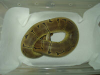 Male WomaPin Ball Python for sale