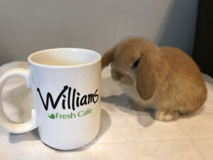 Purebred Holland Lop Doe (Female) Bunny - Ready Now
