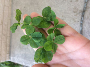 Four Leaf Clovers for LUCK