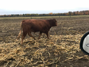 Limousine Bulls for sale