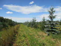 Trees for Sale-Colorado Spruce 8-10ft