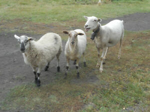 Sheep | Adopt or Rehome Livestock in Saskatchewan | Kijiji