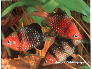 Looking for Black Ruby Barbs