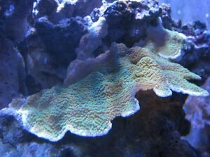 Saltwater corals, liverock and reef sand for sale Cambridge Kitchener Area image 4