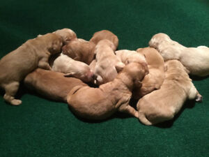 Golden retriever puppies just in time to start your new year!
