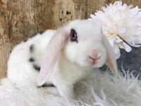 Rabbits available