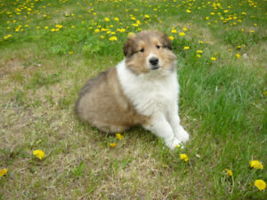 Purebred Rough Collies Puppies for Sale
