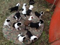 Puppies! Great agility dogs & working dogs!