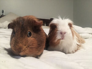 Two bonded male guinea pigs, free to a loving home