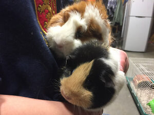 Gorgeous Guinea Pigs free to good home
