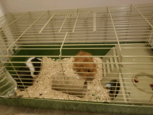 Guinea pigs to rehome