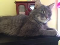 All grey medium hair boy -very friendly and affectionate