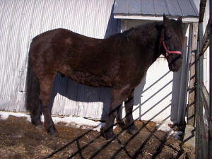Canadian Gelding For Sale