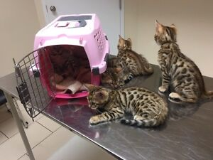 Asian Leopard Bengal Kittens Ready to Go Peterborough Peterborough Area image 1