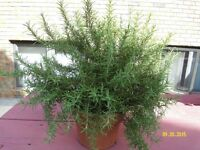 Rosamery in the vase ready to use, keep inside for the winter