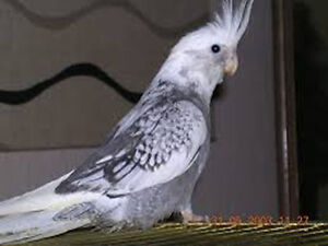 Whiteface cockatiel baby - 6 months old